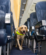 Pine Street Assistance Dog walking down the plane galley
